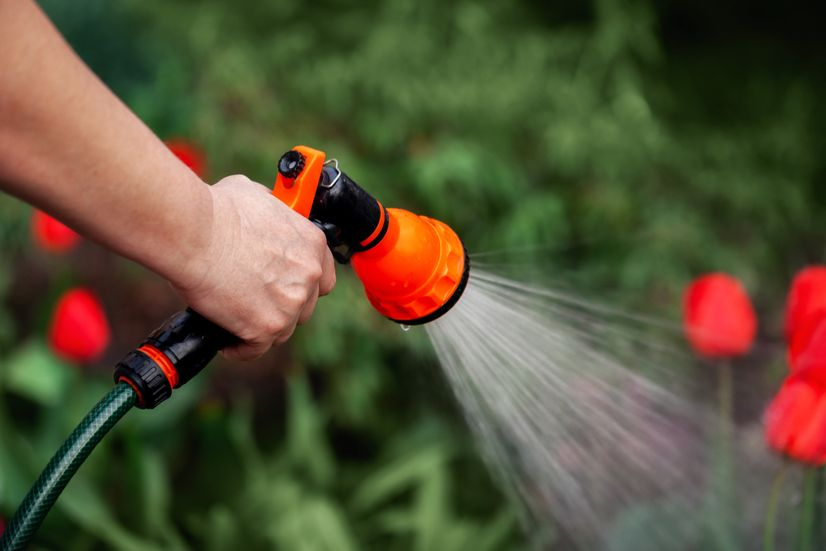 Woman using a rubber hose with orange and black fittings to water the red tulips in her garden.